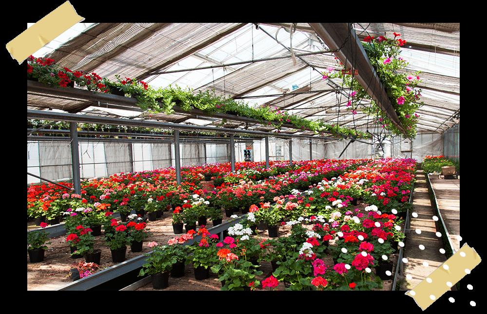 coltivazione e vendita di piante ornamentali per interni ed esterni vivaio cecchini a lodi